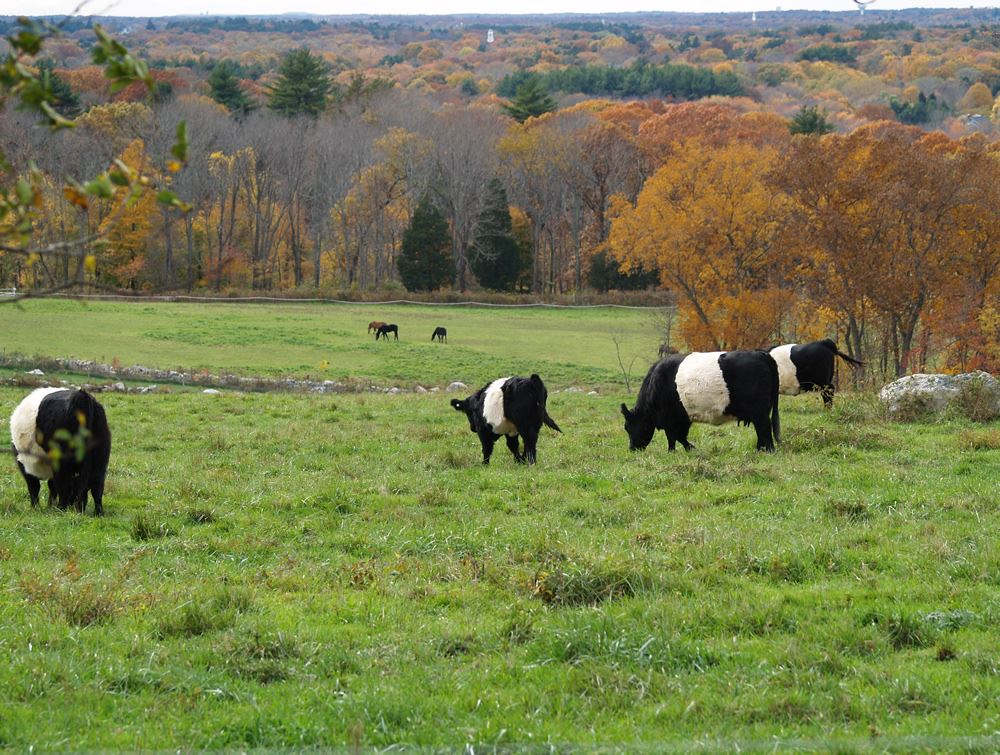 Belted Galloway cows in the pasture 14