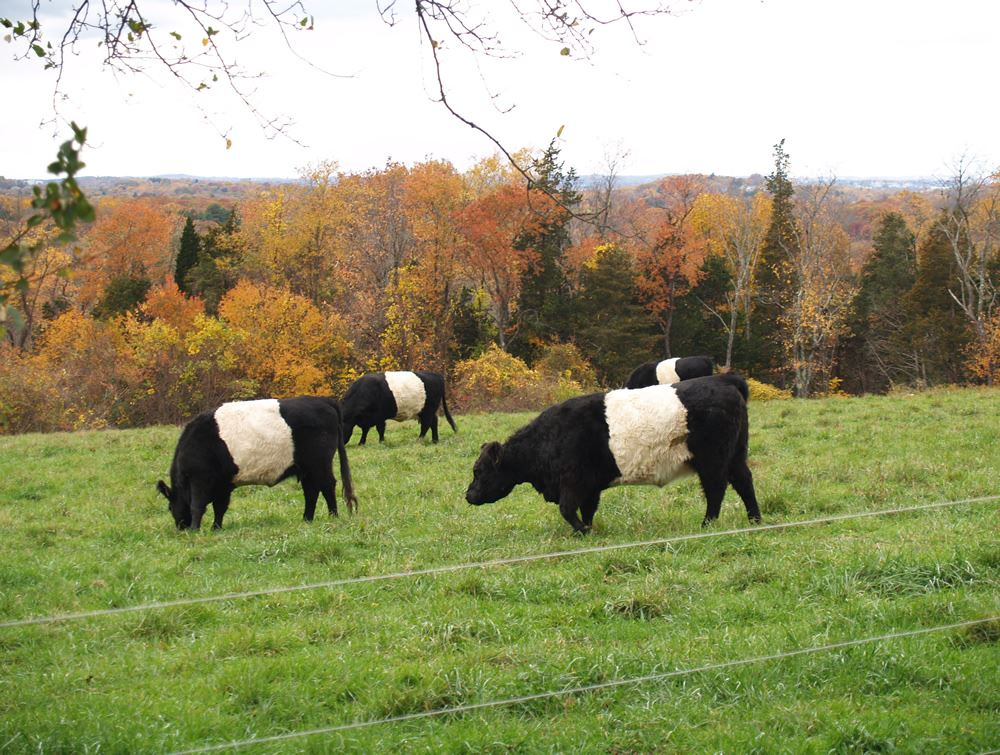 Belted Galloway cows in the pasture 3