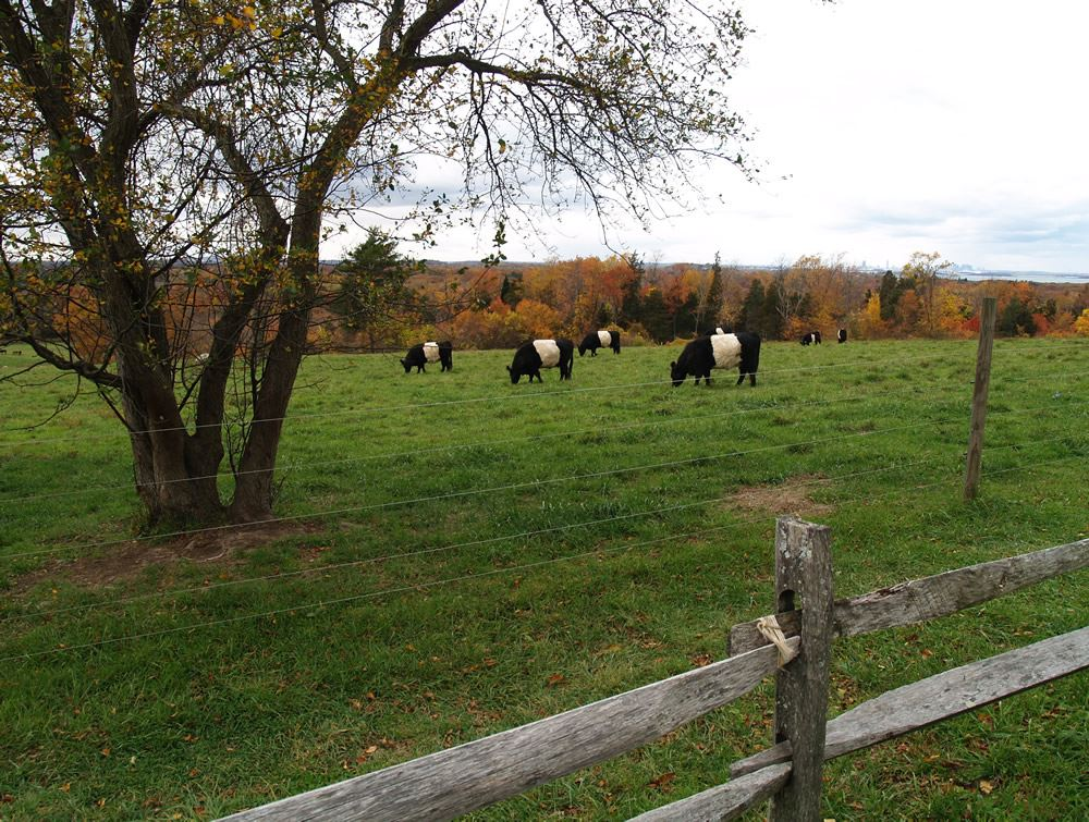 Belted Galloway cows in the pasture 4