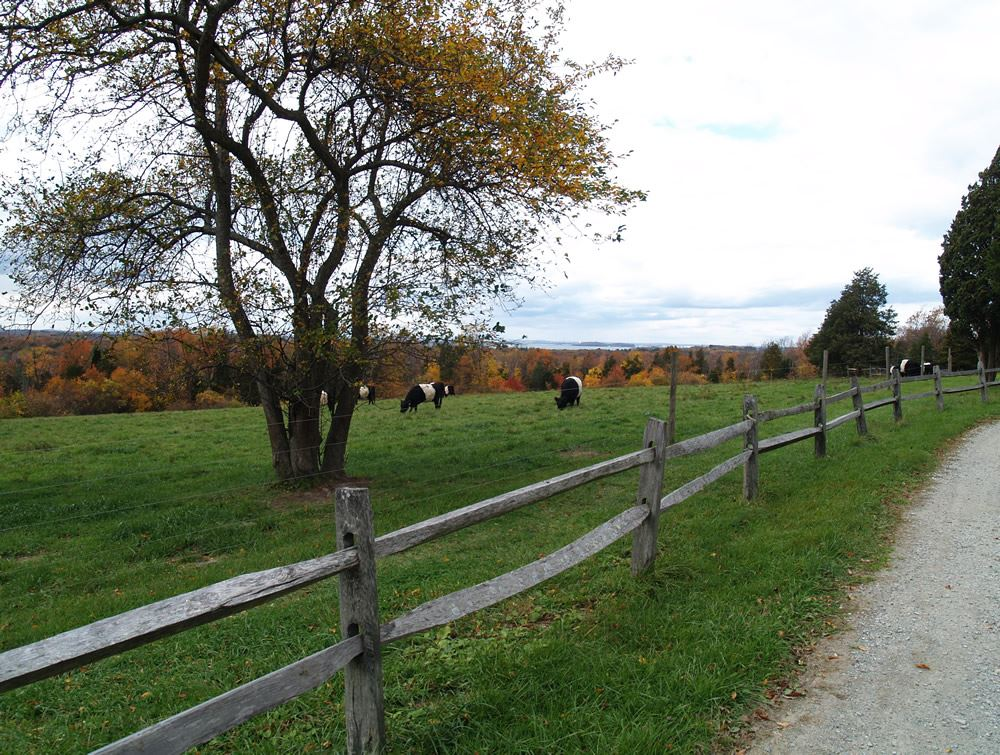 Belted Galloway cows in the pasture 5