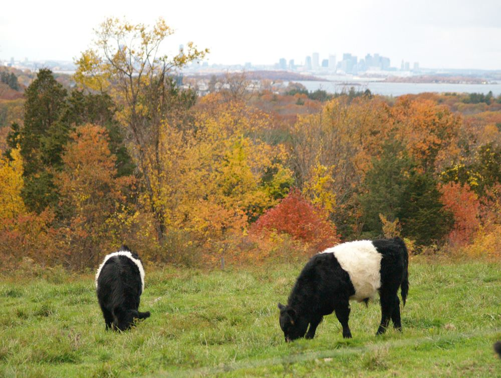 Belted Galloway cows in the pasture 6