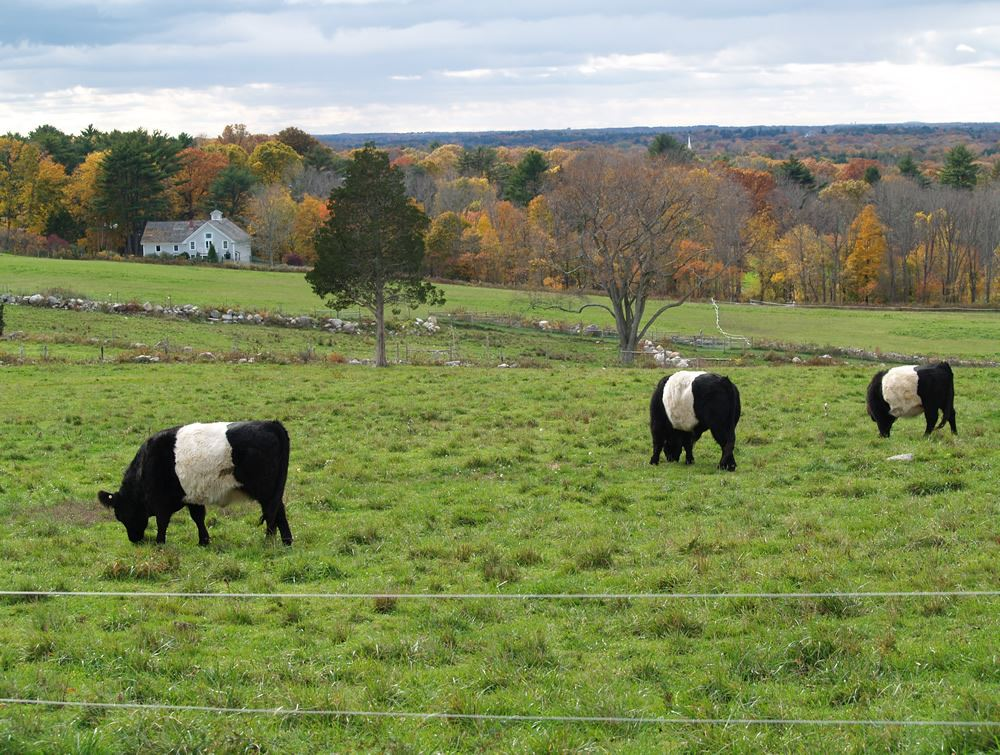 Belted Galloway cows in the pasture 7