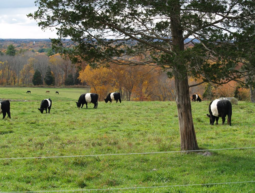 Belted Galloway cows in the pasture 8